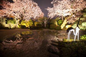 桜、日本庭園